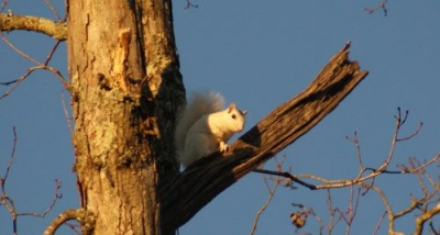 Brevard White Squirrel Moved to Hendersonville