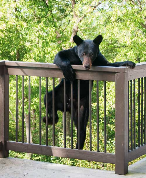 Black Bear Climbing Over Railing