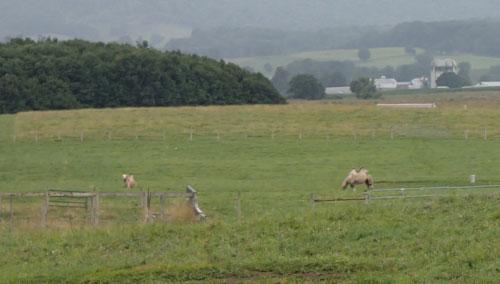 Bactrian Camel and LLama Farm in Burkes Garden Virginia